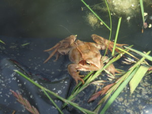 Frog that lives in our pond.